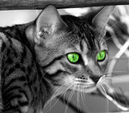 Locked On Target. Bengali special breed kitten, desaturated, with saturated green eyes stock photo