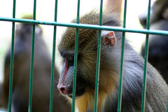 Locked up. Sad looking baboon female at the Oliwa zoo in Gdansk, Poland Royalty Free Stock Images
