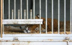 Locked up tiger. In a circus caravan Stock Photography