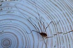 Lockespindel på en trädstam arkivfoto