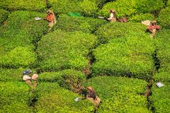 Tea workers on a beautiful crisp morning in the hills around munnar, Kerala, India Royalty Free Stock Images