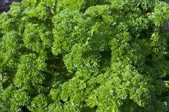 lockig blad parsley för grupp Arkivfoto