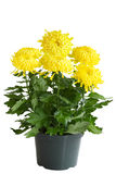 lockig chrysanthemum Royaltyfri Foto