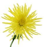 lockig chrysanthemum Arkivfoto