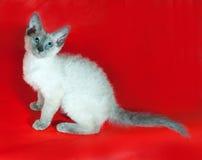 Lockig cornisk Rex kattunge med blåa ögon som sitter på rött Arkivfoto