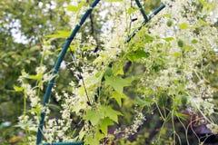 lockig gurka på pergolan Royaltyfri Foto