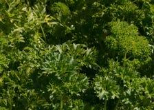 Lockig leaved persiljaört för att laga mat Arkivbild