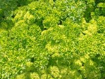 lockig ny trädgårds- örtparsley för bakgrund Arkivfoto
