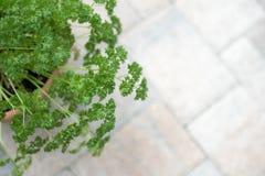 Lockig persilja i en lerakruka Arkivbild