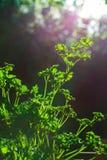 Lockig persilja lämnar closeupen i trädgården royaltyfria bilder