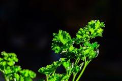 Lockig persilja lämnar closeupen i trädgården fotografering för bildbyråer