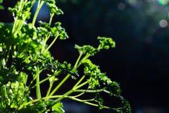 Lockig persilja lämnar closeupen i trädgården royaltyfri fotografi