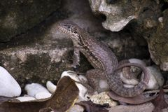 Lockig-tailed Closeup för armouri för ödlaLeiocephalus carinatus arkivfoto