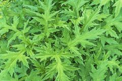 Lockig tistelСarduus crispus Bakgrund med gröna sidor av en tistel arkivfoton