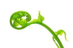 lockiga ferns Arkivfoto