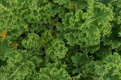 Lockiga gröna grönkålsidor Royaltyfri Bild