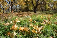 Lockiga gula lönnlöv på grönt gräs i höstskogen, abstrakt bakgrund Royaltyfria Foton
