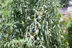 Lockiga sidor på tomatträd vid ett överflöd av gasformigt grundämne Royaltyfri Bild
