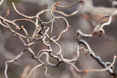 Lockige Zweige ungewöhnlich geformter Baum Abstraktes Konzept der Natur Makroansicht, Feld der flachen Tiefe, Weichzeichnung Stockfotografie