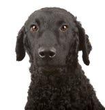 Lockiger überzogener Apportierhund Lizenzfreies Stockfoto