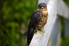 Locking Eyes with a Merlin Faclon Royalty Free Stock Images
