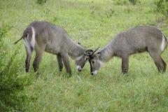 locking horns Stock Photo