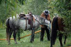 Locking horses after riding. Locking horses after horse riding by willow trees royalty free stock photography