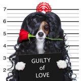 Loco en mugshot del perro de las tarjetas del día de San Valentín del amor fotos de archivo libres de regalías