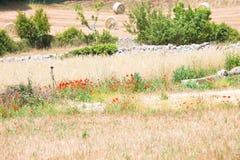 Locorotondo, Apulien - Feld mit Heu und roter Mohnblume lizenzfreie stockbilder