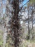 Locus drzewo zdjęcie stock