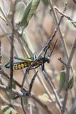 Locustídeo de Bush do arco-íris no arbusto do milkweed fotografia de stock royalty free