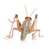 Locustídeo do deserto - gregaria de Schistocerca foto de stock