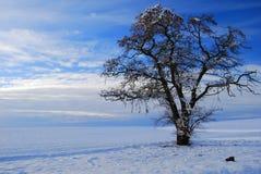 Locustídeo do inverno Imagens de Stock