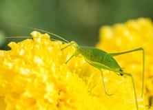 Locustídeo e fezes verdes do gafanhoto Fotografia de Stock Royalty Free