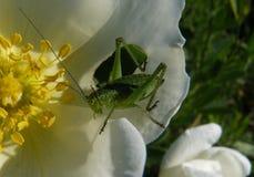 Locustídeo em uma flor Fotos de Stock