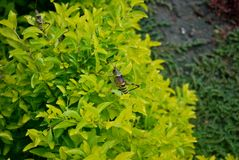 Locustídeo grandes em uma planta bastante verde fotos de stock