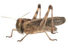 Locustídeo migratórios - (migratoria do Locusta) Imagens de Stock