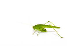Locustídeo verdes Fotografia de Stock Royalty Free