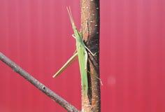 Locustídeo verdes, inseto de asa Praga de colheitas agrícolas Imagens de Stock Royalty Free