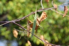 Locustídeo verdes, inseto de asa Praga de colheitas agrícolas Imagem de Stock Royalty Free