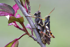 Locust (grasshopper )Mating. On the tree Stock Image
