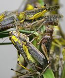 Locust 1 Royalty Free Stock Images