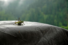 Locust. Sitting on tent top, rainy day on the mountain taiga Siberian river Mana. Russia Stock Photo