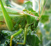 Locust Stock Photography