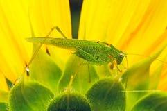 Locust. Macro of Grasschopper on sunflower Stock Photography