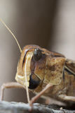 Locust. A common Spur-throated locust that can cause a lot of damage Stock Photography
