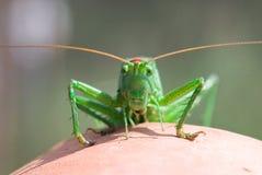 Locust. Sitting on a clay ceramics stock photos