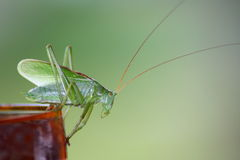 A locust. Royalty Free Stock Photo