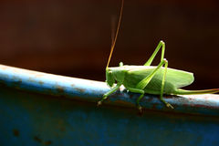Locust. Insect Royalty Free Stock Photos