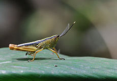 Locust. On corn leaf's rice grasshopper. Receives the hind leg, in meets the natural enemy the time, may bounce rapidly, flees the natural enemy Royalty Free Stock Images